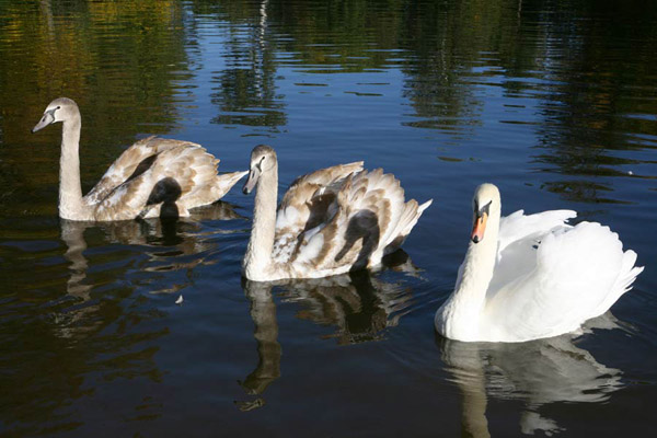Парк Олександрія. Лебеді