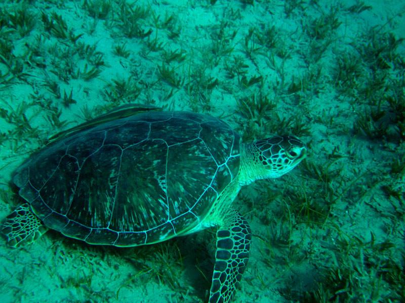 Морська черепаха в Табі