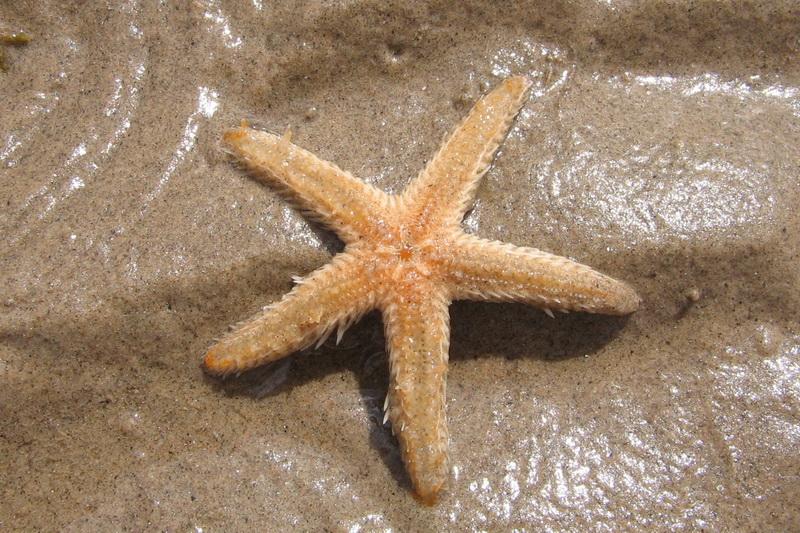 Морська зірка в Табі