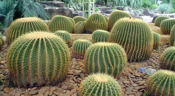 Сад кактусів