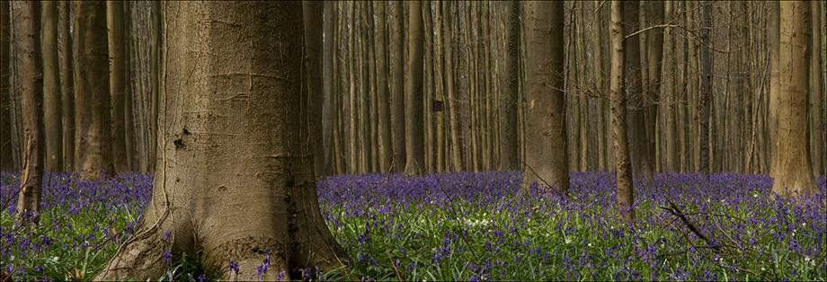 Халербос - ліс в Бельгії