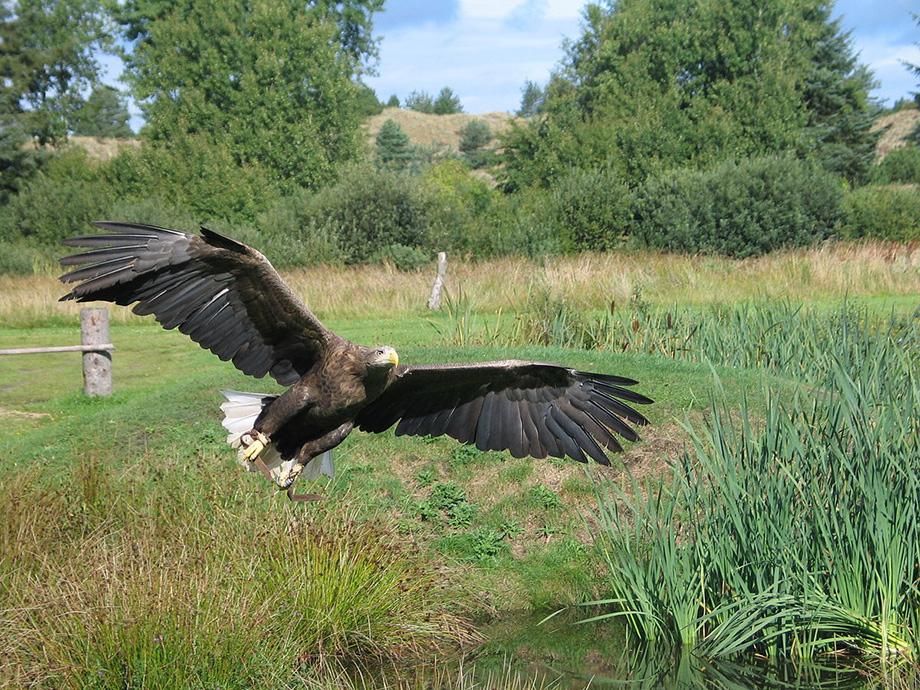 Орел в Дунайському заповіднику