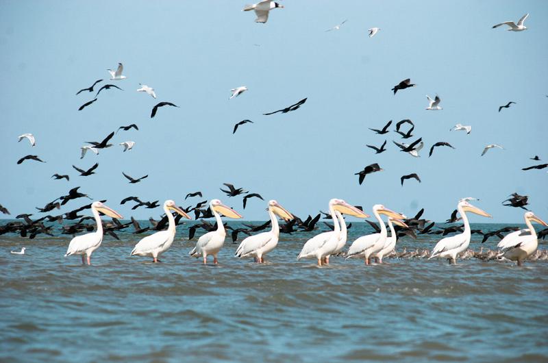 Пелікани в Дунайському заповіднику
