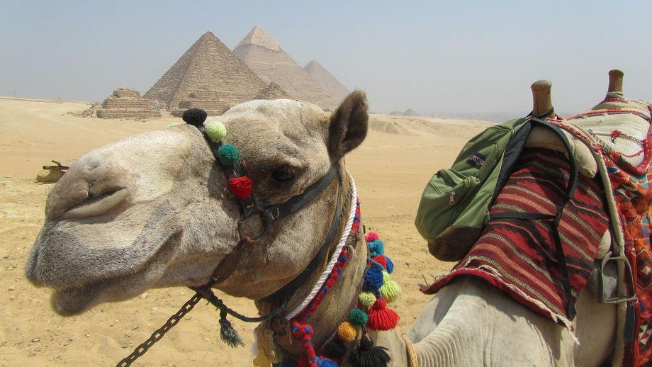 Верблюд в Єгипті